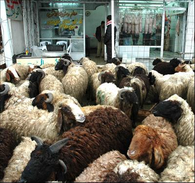 Sheep awaiting their important role in Eid al-Adha celebrations